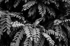 Fundo que mostra a imagem preto e branco das folhas compostas fotografia de stock