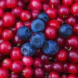 Fundo rústico com os arandos e os mirtilos coloridos saborosos vermelhos, vista superior O foco macio, foto do close up das bagas Imagens de Stock