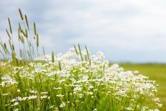 Fundo rústico da flor do verão da natureza Fotografia de Stock Royalty Free