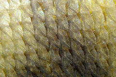 Fundo real das escalas de peixes da carpa Imagens de Stock