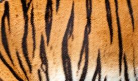Fundo real do teste padrão listrado da textura da pele do tigre Imagem de Stock