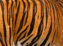 Fundo real do teste padrão listrado da textura da pele do tigre Fotografia de Stock Royalty Free