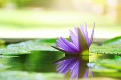 Fundo roxo bonito da natureza da flor de lótus e da luz solar do borrão Fotos de Stock