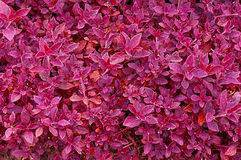 Fundo roxo da folha Foto de Stock