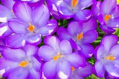 Fundo roxo das flores da flor do açafrão Imagem de Stock Royalty Free