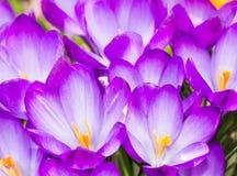 Fundo roxo das flores da flor do açafrão Fotografia de Stock Royalty Free