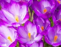 Fundo roxo das flores da flor do açafrão Fotos de Stock