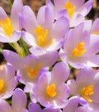 Fundo roxo das flores da flor do açafrão Imagens de Stock