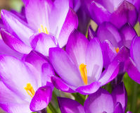 Fundo roxo das flores da flor do açafrão Imagens de Stock Royalty Free
