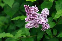 Fundo roxo do lilac Fotos de Stock