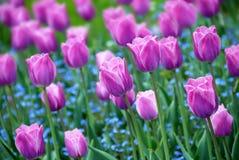 Fundo roxo dos tulips Imagens de Stock