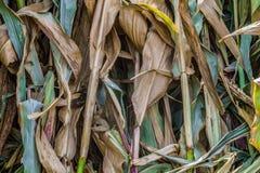 Fundo secado da folha do milho Planta natural das hastes fotografia de stock