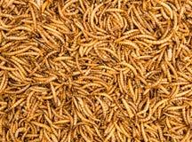 Fundo secado das larvas de farinha imagens de stock