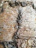 Fundo seco da textura da árvore de madeira velha Fotografia de Stock