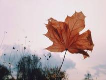 Fundo seco vermelho do branco da folha do outono Imagem de Stock Royalty Free