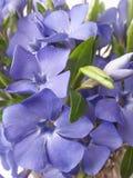 Fundo selvagem da flor da pervinca Fotografia de Stock Royalty Free
