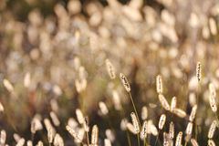 Fundo selvagem da grama de Foxtail em Autumn Sunrise fotos de stock
