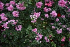 Fundo selvagem das rosas Imagens de Stock