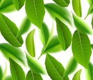 Fundo sem emenda da natureza do vetor das folhas de chá verdes Imagens de Stock