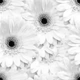 Fundo sem emenda monocromático branco com flores do gerbera Fotografia de Stock Royalty Free