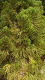 Fundo sempre-verde Foto de Stock Royalty Free