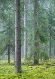 Fundo Spruce da floresta do aginst do tronco de árvore Imagem de Stock