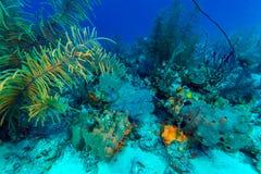 Fundo subaquático com corais macios e duros, Largo de Cayo imagens de stock