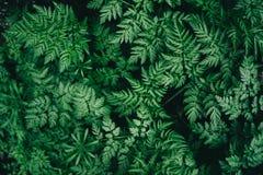 Fundo suculento colorido com as folhas verdes como as folhas da samambaia imagens de stock royalty free