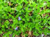 Fundo suculento verde floral de uma planta do rastejamento do menor do Vinca com as duas flores azuis e o um botão - vista superi Fotos de Stock