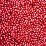 Fundo suculento vermelho da airela da floresta Imagens de Stock Royalty Free