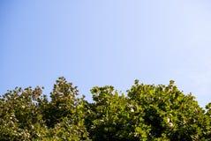 Fundo, a textura do céu acima das coroas verdes dos bordos imagem de stock