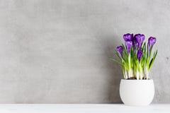 Fundo Textured com açafrões roxos de florescência no p branco Fotos de Stock Royalty Free