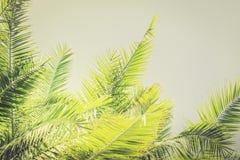 Fundo tonificado das folhas de palmeira da luz solar com espaço da cópia foto de stock