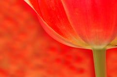 Fundo translúcido do Tulip imagem de stock