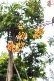 Fundo tropical amarelo abstrato da flor As flores tropicais bonitas em um verde borraram o fundo Bali, Indonésia Foto de Stock