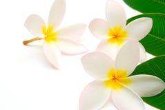 Fundo tropical da flor Foto de Stock Royalty Free
