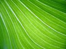 Fundo tropical da folha Imagens de Stock