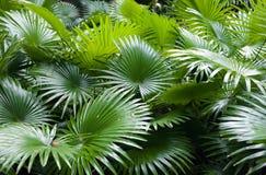 Fundo tropical da palma da floresta húmida Fotos de Stock