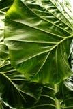 Fundo tropical da textura da folha, listras da obscuridade - folha verde Imagem de Stock