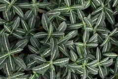 Fundo tropical pequeno da planta da vegetação rasteira de Ruellia Makoyana fotos de stock royalty free