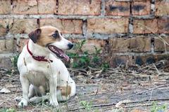 Fundo velho da parede de tijolo e um cão Jack Russell Terrier que senta-se ao lado de uma casa abandonada arruinada foto de stock royalty free