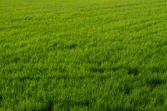 Fundo verde áspero do campo Imagem de Stock