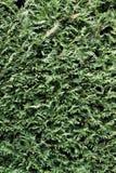 Fundo verde cipreste podado foto de stock royalty free