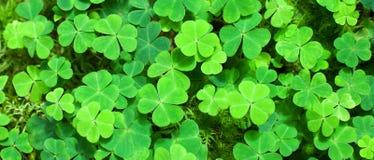 Fundo verde com trevos três-com folhas Imagens de Stock Royalty Free