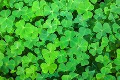 Fundo verde com trevos três-com folhas Símbolo do feriado do dia do ` s de St Patrick Foco seletivo imagem de stock