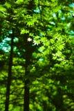 Fundo verde da floresta das folhas de bordo foto de stock