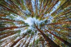 O céu através dos pinhos Imagem de Stock