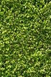 Fundo verde da folha Fotografia de Stock