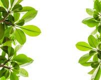 Fundo verde da folha isolado Imagens de Stock