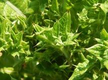 Fundo verde da grama dos espinhos Imagem de Stock Royalty Free